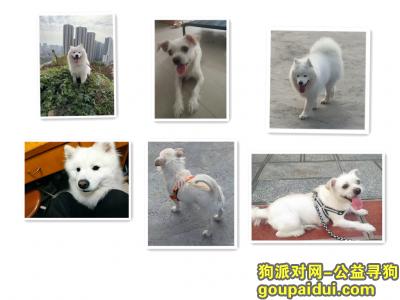 寻狗启示,一条萨摩耶 一条白色串串狗(高庙村 富州新城兰亭旁平顶山公园),它是一只非常可爱的狗狗,希望狗狗早日回家,不要变成流浪狗。
