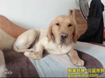 菏泽寻狗,寻找金毛犬 拽拽 全身无毛,它是一只非常可爱的宠物狗狗,希望它早日回家,不要变成流浪狗。