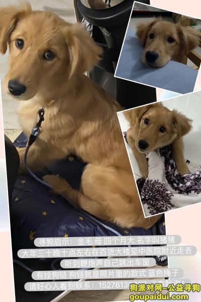 桂林找狗,桂林寻狗,金毛串串五个月,必有重谢!,它是一只非常可爱的宠物狗狗,希望它早日回家,不要变成流浪狗。