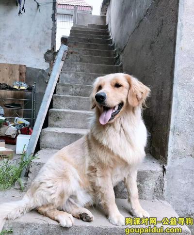 昆明寻狗网,金毛在呈贡区走失,脖子有绿色项圈,它是一只非常可爱的宠物狗狗,希望它早日回家,不要变成流浪狗。