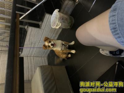 惠州寻狗启示,【寻狗启示】惠州石湾鸾岗小学,它是一只非常可爱的宠物狗狗,希望它早日回家,不要变成流浪狗。