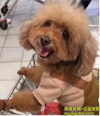 福州找狗,寻泰迪爱犬,提供有效线索后找回必重金酬谢!!,它是一只非常可爱的宠物狗狗,希望它早日回家,不要变成流浪狗。