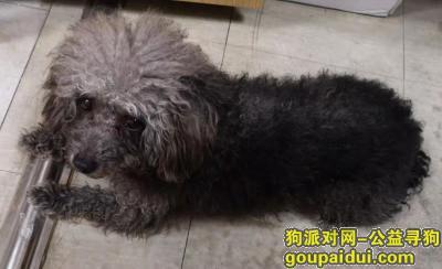 捡到狗,苏州工业园区泰迪找主,它是一只非常可爱的宠物狗狗,希望它早日回家,不要变成流浪狗。