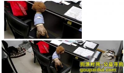 上海找狗,上海浦东云桥路金藏路寻找泰迪,它是一只非常可爱的宠物狗狗,希望它早日回家,不要变成流浪狗。