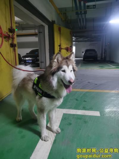 武汉寻狗启示,灰桃色阿拉斯加犬找主人,它是一只非常可爱的宠物狗狗,希望它早日回家,不要变成流浪狗。