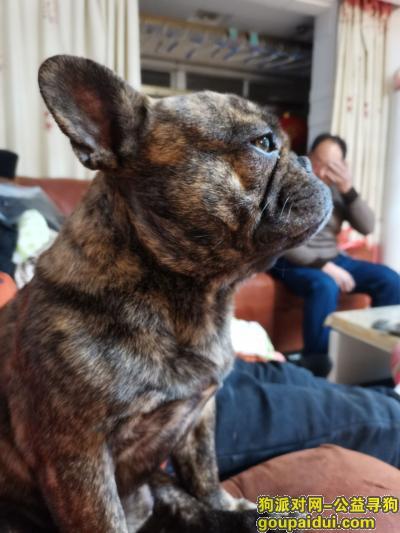 泰州找狗,三岁公虎斑斗牛 未绝育,它是一只非常可爱的宠物狗狗,希望它早日回家,不要变成流浪狗。
