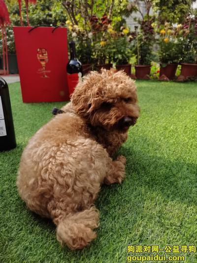 东莞找狗,寻棕色泰迪犬,身上有蓝色背带,它是一只非常可爱的宠物狗狗,希望它早日回家,不要变成流浪狗。