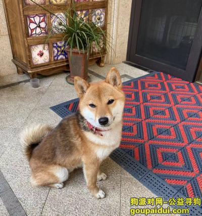金华找狗,金华寻狗柴犬22日晚,它是一只非常可爱的宠物狗狗,希望它早日回家,不要变成流浪狗。