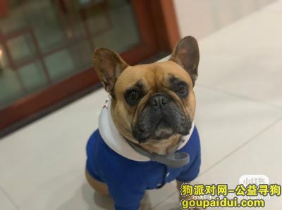 宁波寻狗,法斗 黄色 公 戴蓝色项圈,它是一只非常可爱的宠物狗狗,希望它早日回家,不要变成流浪狗。