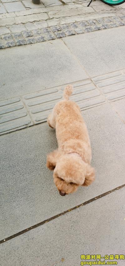 成都找狗,成都成华区急寻泰迪弟弟,棕黄,成华区上东一号附近跑丢,它是一只非常可爱的宠物狗狗,希望它早日回家,不要变成流浪狗。