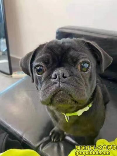 南宁寻狗启示,寻狗,八哥犬,南宁市中山路花鸟市场走丢!,它是一只非常可爱的宠物狗狗,希望它早日回家,不要变成流浪狗。
