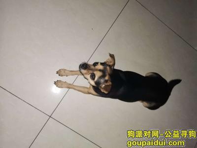 寻狗网,找狗,名叫点点,母,黑色短毛,貌似小鹿犬,它是一只非常可爱的狗狗,希望狗狗早日回家,不要变成流浪狗。