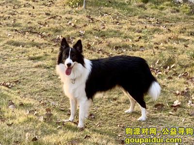 找狗网,长沙市岳麓区黄荆小区丢失爱犬边牧,它是一只非常可爱的狗狗,希望狗狗早日回家,不要变成流浪狗。
