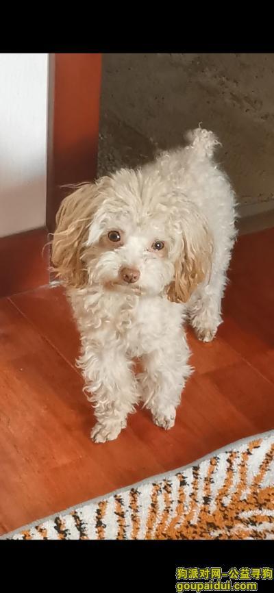 找狗,寻香槟色小泰迪 名字叫毛毛,它是一只非常可爱的狗狗,希望狗狗早日回家,不要变成流浪狗。
