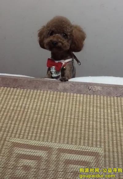 寻狗启示,寻找丢失的泰迪狗  望好心人捡到能归还,它是一只非常可爱的狗狗,希望狗狗早日回家,不要变成流浪狗。