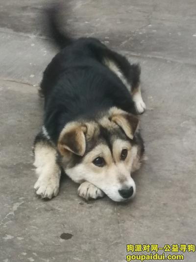 青岛寻狗网,胶州找狗,杂色田园犬,它是一只非常可爱的宠物狗狗,希望它早日回家,不要变成流浪狗。