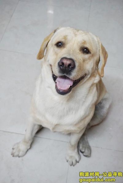 广州寻狗主人,番禺大石捡到-拉布拉多,它是一只非常可爱的宠物狗狗,希望它早日回家,不要变成流浪狗。
