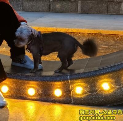 商丘找狗,寻狗,咖啡色的蝴蝶犬和约克夏小转转。急急急,它是一只非常可爱的宠物狗狗,希望它早日回家,不要变成流浪狗。
