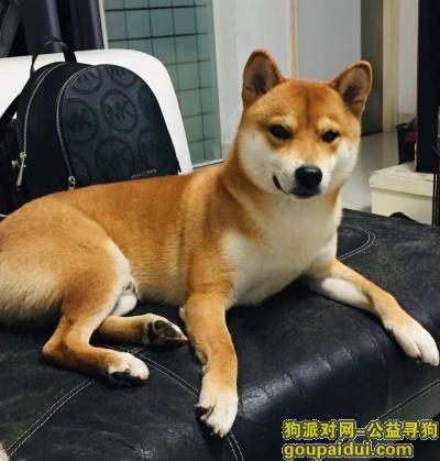 深圳寻狗,深圳找狗-5月3日10时东湖公园走丢柴犬一只带有橙色背带,它是一只非常可爱的宠物狗狗,希望它早日回家,不要变成流浪狗。