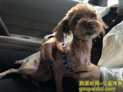 南京寻狗启示,南京流浪泰迪找原主人或好心人收养,它是一只非常可爱的宠物狗狗,希望它早日回家,不要变成流浪狗。