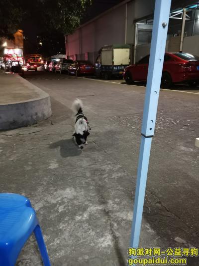 江门寻狗启示,路上遇到一只走丢的小狗狗,它是一只非常可爱的宠物狗狗,希望它早日回家,不要变成流浪狗。