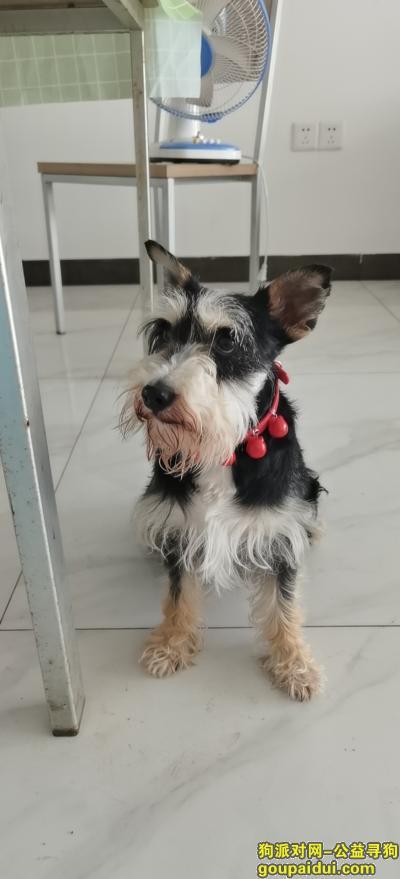 南昌寻狗启示,在九龙湖上饶大街捡到雪纳瑞一只,主人看到请联系13590429178,它是一只非常可爱的宠物狗狗,希望它早日回家,不要变成流浪狗。