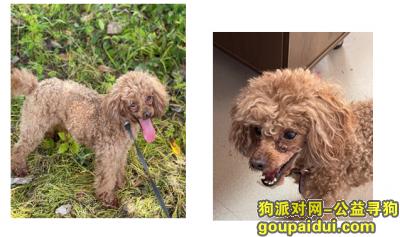 金华寻狗,金华市东阳市横店镇后岩山下东仙线寻找泰迪,它是一只非常可爱的宠物狗狗,希望它早日回家,不要变成流浪狗。