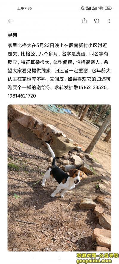 徐州找狗,5月23日晚段南新村比格犬丢失,它是一只非常可爱的宠物狗狗,希望它早日回家,不要变成流浪狗。