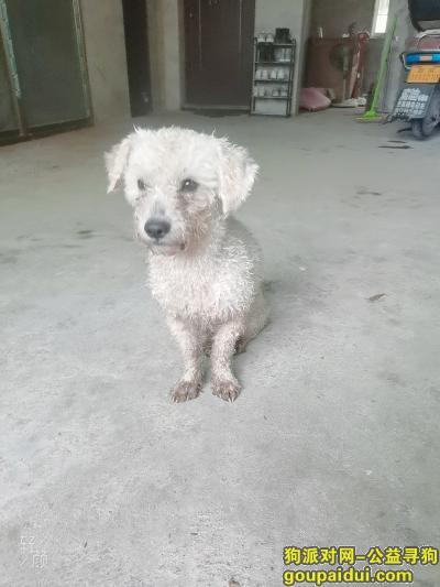 邵阳寻狗网,白色流浪泰迪,尾巴长,卷卷毛,它是一只非常可爱的宠物狗狗,希望它早日回家,不要变成流浪狗。