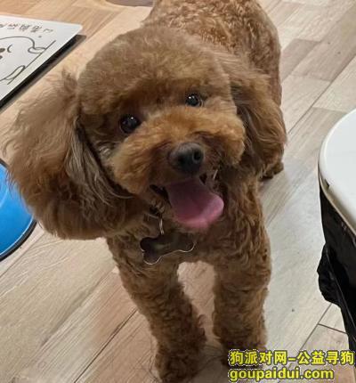 曲靖寻狗启示,华夏印象周围,一直小泰迪,名字叫-摆摆,它是一只非常可爱的宠物狗狗,希望它早日回家,不要变成流浪狗。