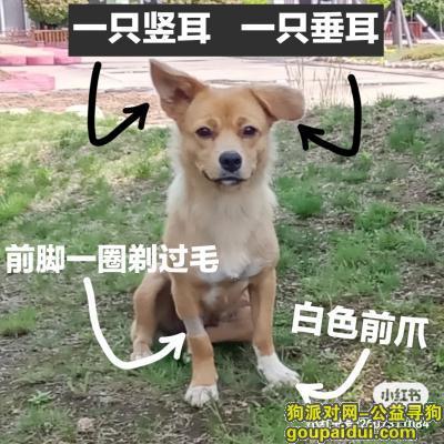 日照寻狗启示,【寻狗】【日照东港区】【田园犬】【酬谢1200】,它是一只非常可爱的宠物狗狗,希望它早日回家,不要变成流浪狗。