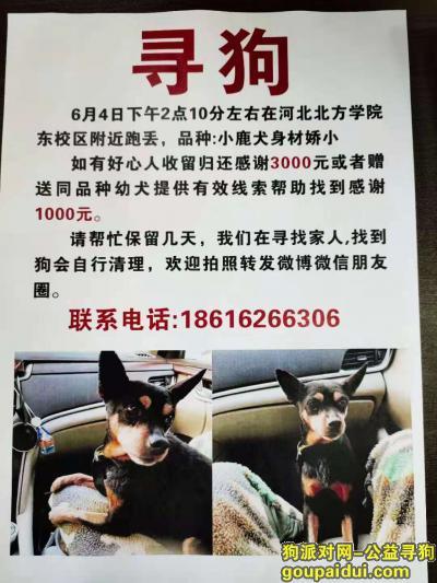 寻狗启示,张家口河北北方学院酬谢三千元寻找小鹿犬,它是一只非常可爱的狗狗,希望狗狗早日回家,不要变成流浪狗。