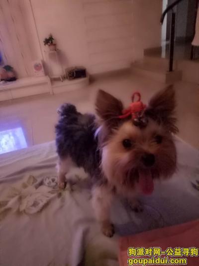 寻狗网,重金寻找相伴六年的约克夏小哥哥,它是一只非常可爱的狗狗,希望狗狗早日回家,不要变成流浪狗。
