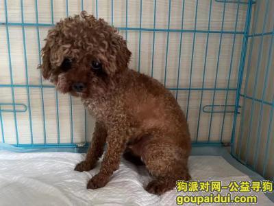 找狗,成都龙泉东山领地捡到棕色小泰迪,它是一只非常可爱的狗狗,希望狗狗早日回家,不要变成流浪狗。