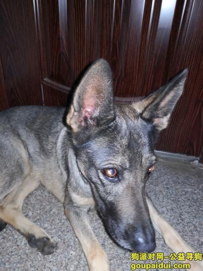 捡到狗,在昆明走失的昆明犬找主人,它是一只非常可爱的宠物狗狗,希望它早日回家,不要变成流浪狗。