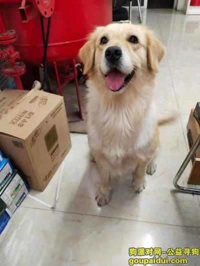 温州寻狗启示,鹿城区:找丢失的金毛,它是一只非常可爱的宠物狗狗,希望它早日回家,不要变成流浪狗。