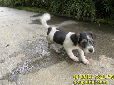 捡到狗,苏州园区捡到半大小奶狗一只,它是一只非常可爱的宠物狗狗,希望它早日回家,不要变成流浪狗。