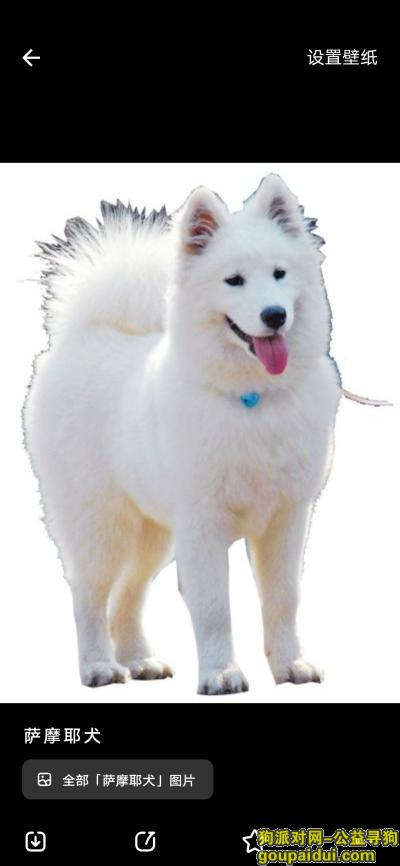 广元寻狗启示,丢失一条白色的萨摩伊犬,它是一只非常可爱的宠物狗狗,希望它早日回家,不要变成流浪狗。