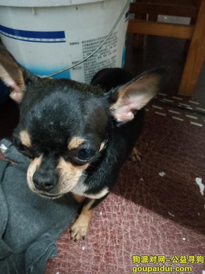 捡到狗,捡到一只黑色吉娃娃,脸部黄白色毛,腿部黄黑色,它是一只非常可爱的宠物狗狗,希望它早日回家,不要变成流浪狗。