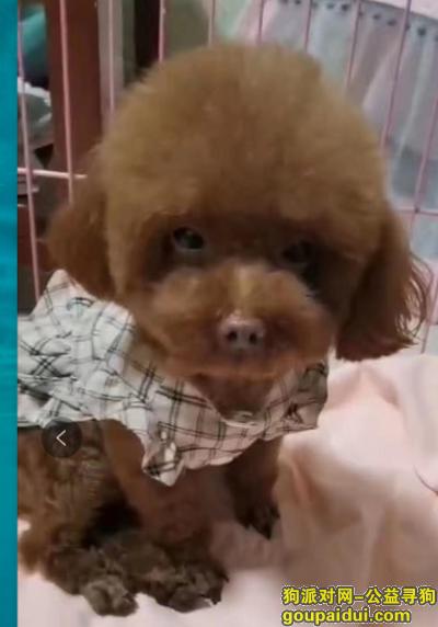 无锡找狗,无锡经开区瑞景道附近重金急寻4斤棕色泰迪,它是一只非常可爱的宠物狗狗,希望它早日回家,不要变成流浪狗。