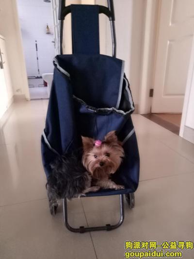 找狗,紧急寻找????约克夏丢丢,它是一只非常可爱的宠物狗狗,希望它早日回家,不要变成流浪狗。