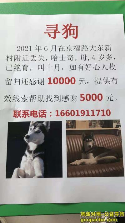 找狗,北京京福路大东新村酬谢10000元寻找 哈士奇,它是一只非常可爱的宠物狗狗,希望它早日回家,不要变成流浪狗。