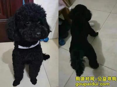厦门找狗,厦门市同安区舜弘现代城寻找黑色泰迪,它是一只非常可爱的宠物狗狗,希望它早日回家,不要变成流浪狗。