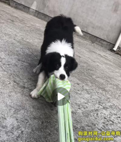 义乌寻狗启示,坐标义乌后宅集市弄丢了名叫ok还很小一岁都没到,它是一只非常可爱的宠物狗狗,希望它早日回家,不要变成流浪狗。
