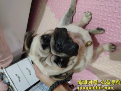 新乡寻狗启示,提供准确信息酬金500找到送回酬金2000,它是一只非常可爱的宠物狗狗,希望它早日回家,不要变成流浪狗。