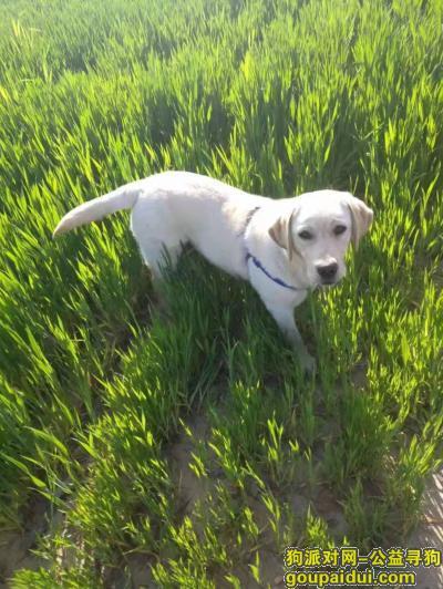 长葛寻狗启示,寻找一只拉布拉多母狗和一只白色瘦小脖子上有红绳的小公狗,它是一只非常可爱的宠物狗狗,希望它早日回家,不要变成流浪狗。