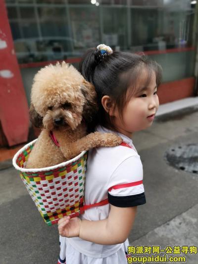 寻狗启示怎么写,成都犀浦找狗,2021.9.8日走丢成年公泰迪一只,,它是一只非常可爱的狗狗,希望狗狗早日回家,不要变成流浪狗。