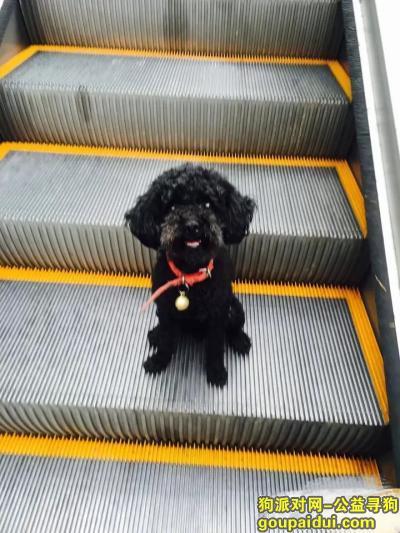 找狗网,江北大石坝找黑色公泰迪,它是一只非常可爱的狗狗,希望狗狗早日回家,不要变成流浪狗。