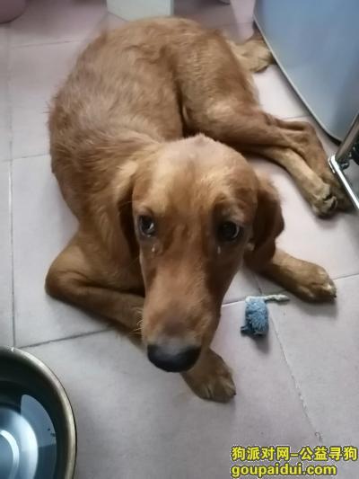 在广州海珠区石溪捡到一只成年金毛,它是一只非常可爱的宠物狗狗,希望它早日回家,不要变成流浪狗。