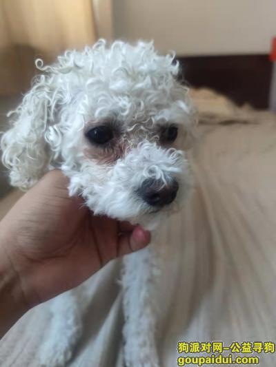 2021年9月29日捡得    白色比熊   公狗一只,它是一只非常可爱的宠物狗狗,希望它早日回家,不要变成流浪狗。